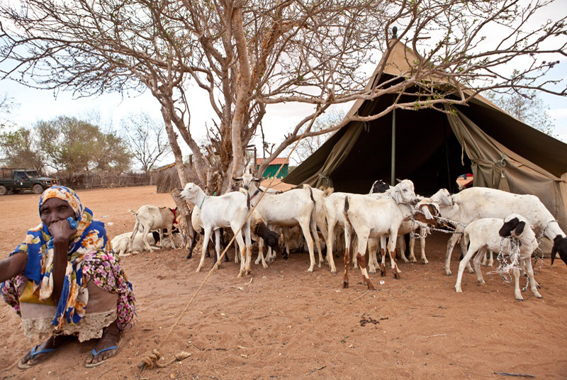 Following a request by the Ministry of Livestock, IOM conducted a commercial destocking exercise on 1 October 2011 in the Kulan host community, Lagdera District. IOM purchased 500 emaciated goats and sheep from host community families. The proceeds from the sales will meet their immediate, life-saving needs and the meat will be used to supplement their diets. © IOM 2011 (Photo: Brendan Bannon)