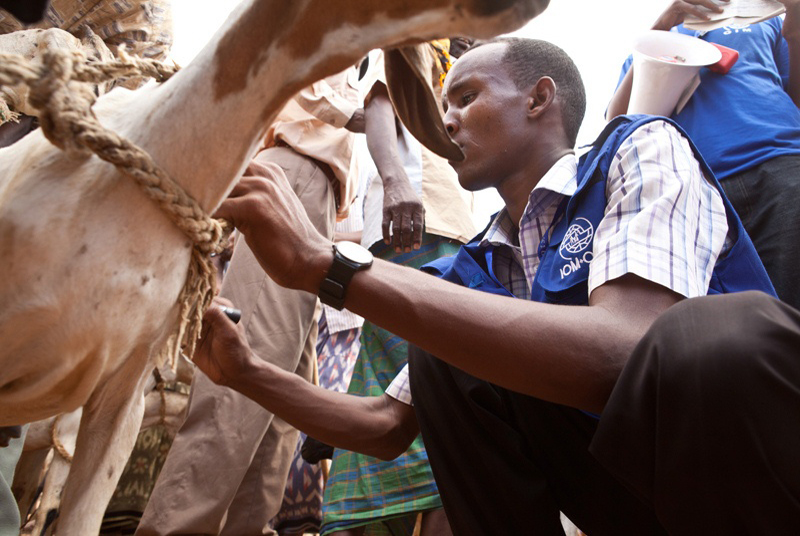 An IOM staff marks the goats that have been sold. Following a request by the Ministry of Livestock, IOM conducted a commercial destocking exercise on 1 October 2011 in the Kulan host community, Lagdera District. © IOM 2011 (Photo: Brendan Bannon)