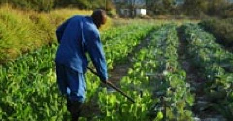 A worker tends to vegetables at a farm in Hoedspruit. An IOM study has found that farm workers in South Africa's Limpopo and Mpumalanga provinces have the highest HIV prevalence among any working population in Southern Africa. © IOM 2010 - MZA0058