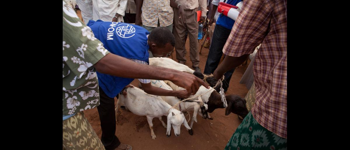 An IOM staff marks the goats that have been sold. IOM purchased 500 emaciated goats and sheep from host community families. The proceeds from the sales will meet their immediate, life-saving needs and the meat will be used to supplement their diets. © IOM 2011 (Photo: Brendan Bannon)